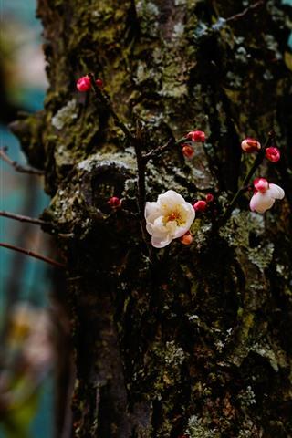 iPhone Wallpaper Plum flowers bloom, trunk, spring