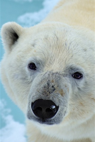 iPhone Wallpaper Polar bear look at you, face, eyes, nose