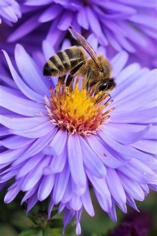 iPhone Wallpaper Purple petals flowers, chamomile, bee