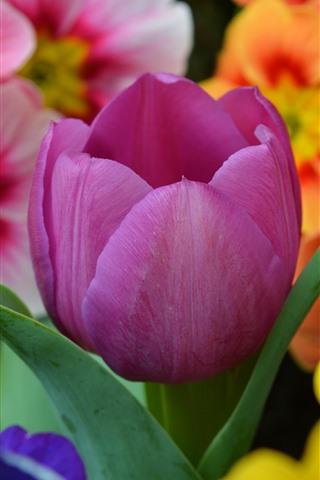 iPhone Fondos de pantalla Tulipan morado y flores naranjas.