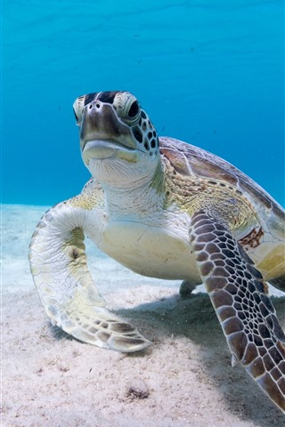 iPhone Wallpaper Sea turtle, underwater