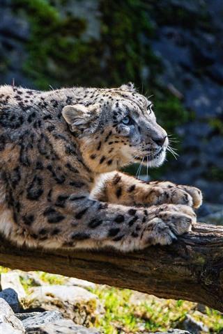 iPhone Fondos de pantalla Snow Leopard Rest, rocas