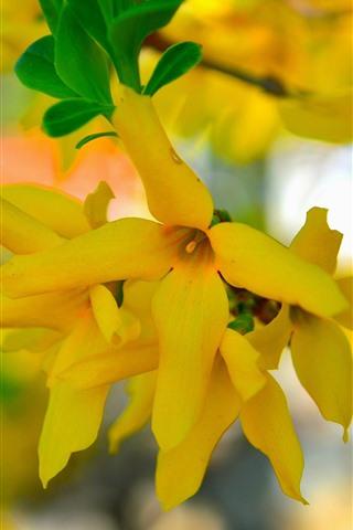 iPhone Fondos de pantalla Primavera, flores amarillas, brujería
