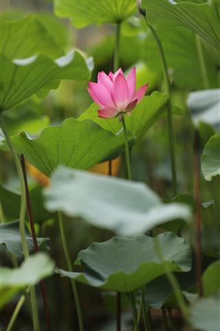 iPhone Fondos de pantalla Flores de verano, loto rosa, follaje verde.