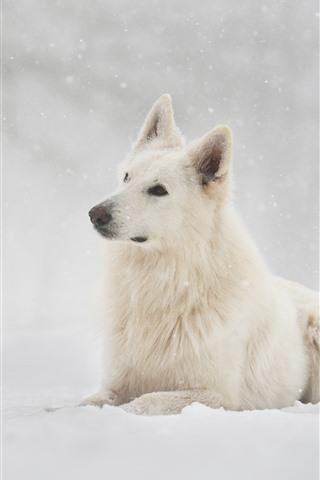 iPhone Fondos de pantalla Perro pastor suizo, nieve, invierno