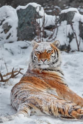 iPhone Fondos de pantalla Tigre mirar hacia atrás, nieve, invierno