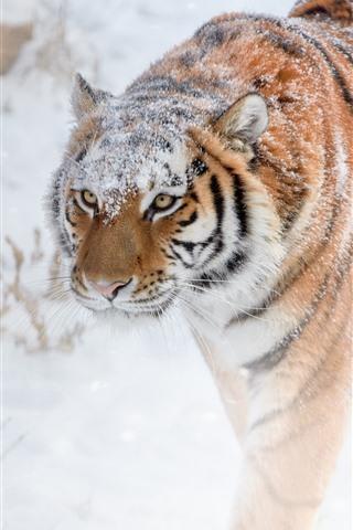 iPhone Fondos de pantalla Tigre caminando, nieve, invierno.