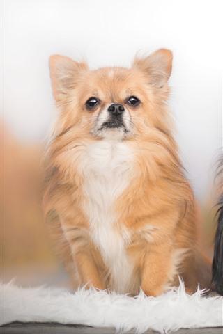 iPhone Fondos de pantalla Dos perros, Chihuahua