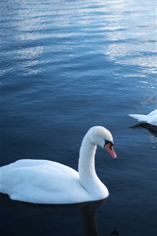 iPhone Wallpaper Two white swans, water, pond