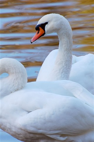 iPhone Wallpaper Two white swans, water
