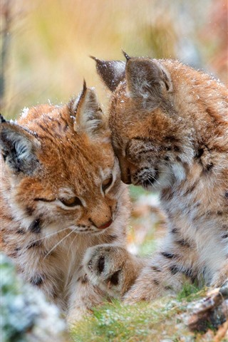 iPhone Wallpaper Two wild cats, lynx, snow