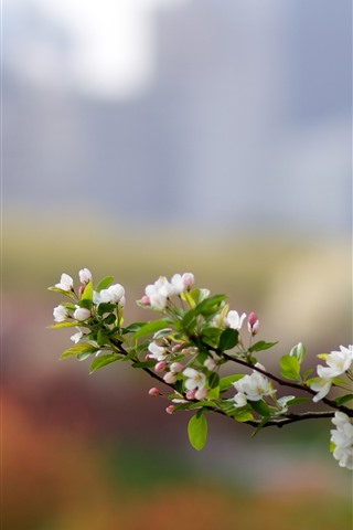 iPhone Wallpaper White apple flowers bloom, spring, twigs