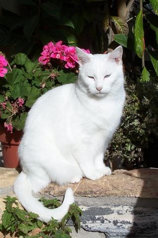iPhone Wallpaper White cat, sunshine, flowers