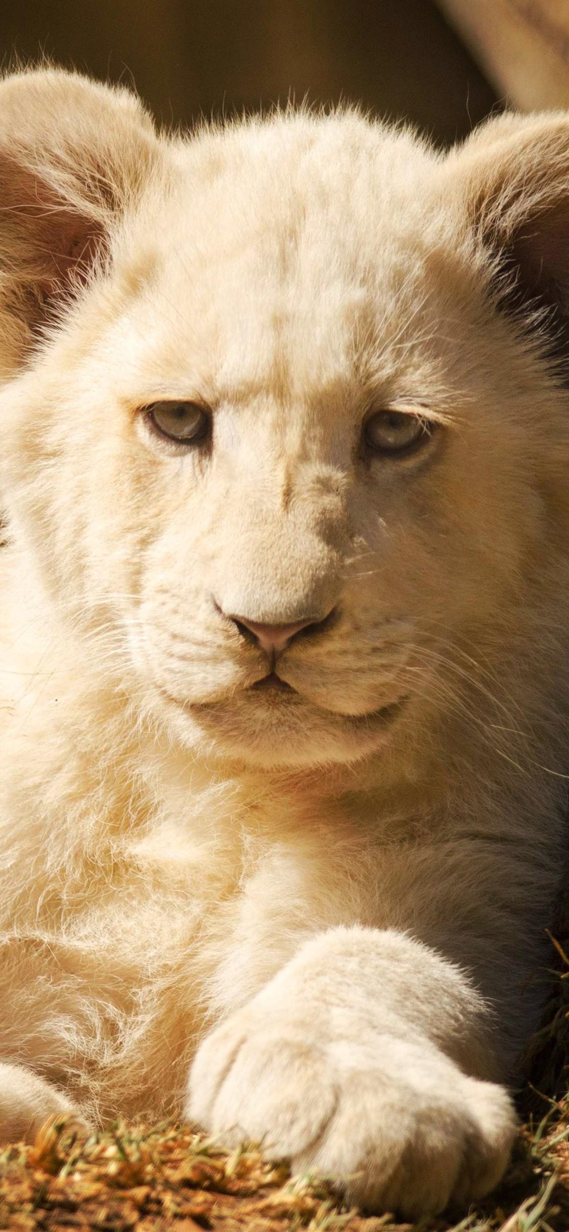 White lion cub, front view 1125x2436 ...