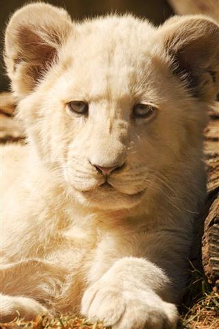 iPhone Fondos de pantalla Cachorro de león blanco, vista frontal