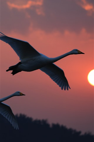 iPhone Wallpaper White swans flight, sunset, sky