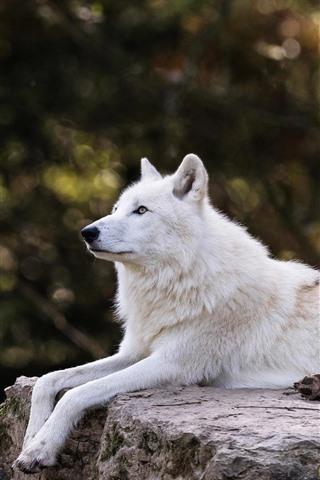 iPhone Fondos de pantalla El lobo blanco descansa, quédate, brumoso
