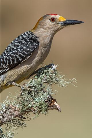 iPhone Fondos de pantalla Pájaro carpintero, pájaro, rama de un árbol