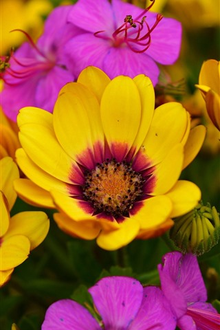 iPhone Wallpaper Yellow and pink osteospermum flowers