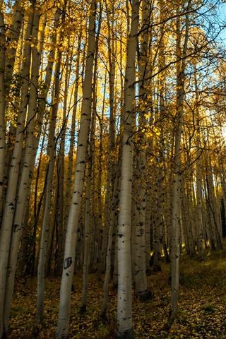 iPhone Wallpaper Autumn, birch, trees, sun rays