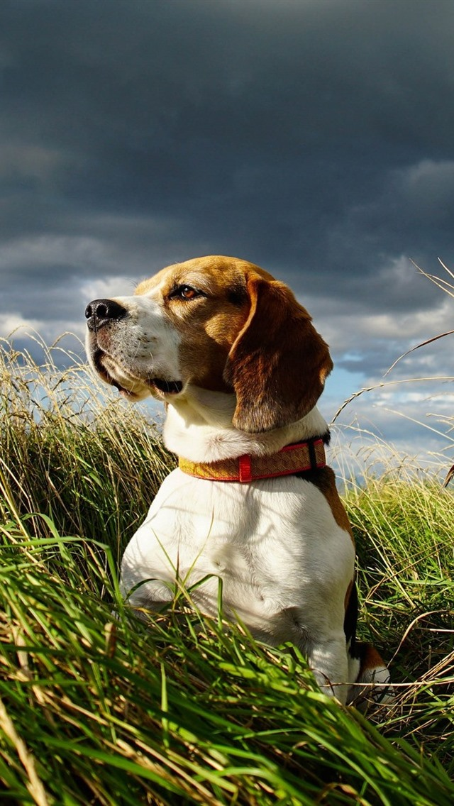 Beagle Dog Grass Summer 640x1136 Iphone 5 5s 5c Se Wallpaper Background Picture Image