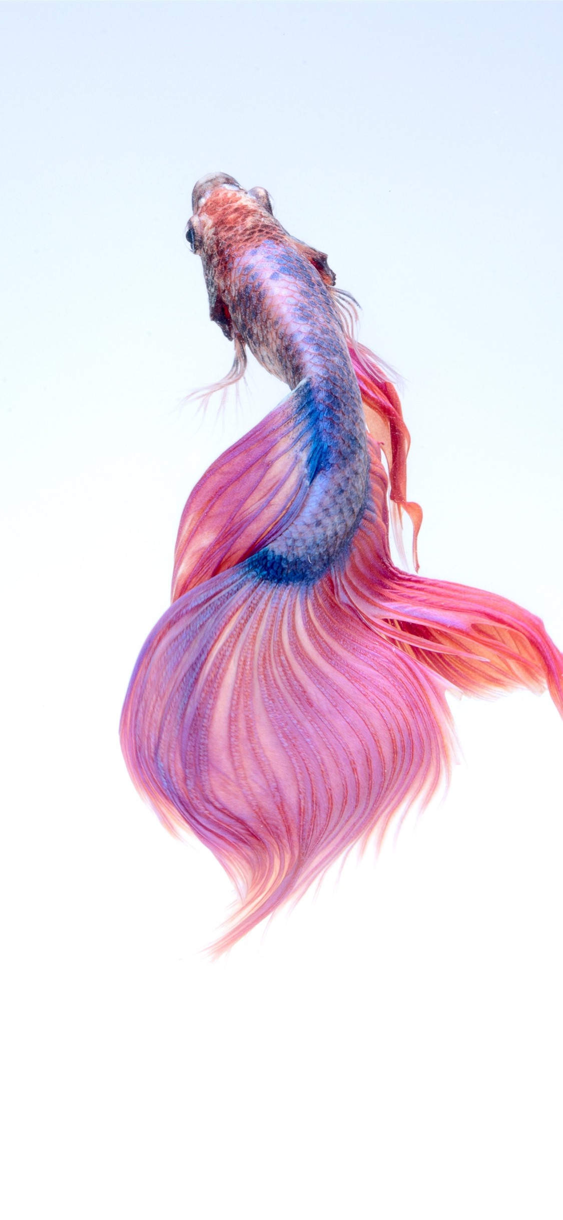 Beautiful fish, white background 21x21 iPhone 21 Pro/XS Max ...