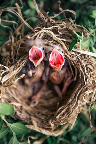 iPhone Fondos de pantalla Pájaro bebé, hambriento, nido.
