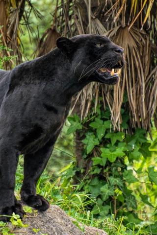 iPhone Wallpaper Black panther, teeth, wildlife