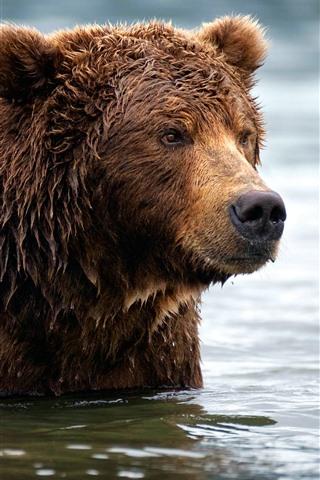 iPhone Wallpaper Brown bear, wet, water