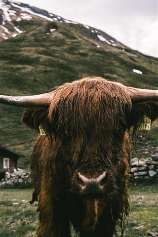 iPhone Fondos de pantalla Vista frontal del toro, cuernos, mojado.