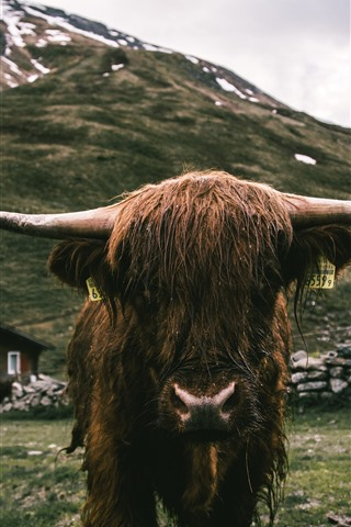 iPhone Wallpaper Bull front view, horns, wet