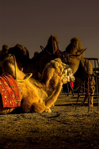 iPhone Fondos de pantalla Camel REST