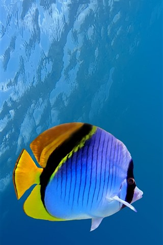 iPhone Wallpaper Clownfish, fish, coral, water