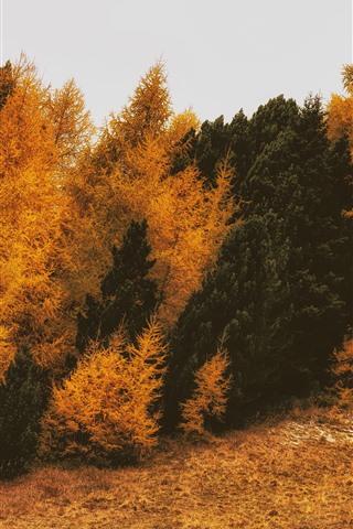 iPhone Fondos de pantalla Coníferas, árboles, otoño