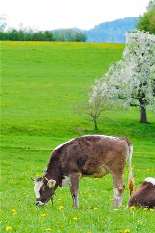iPhone Wallpaper Cow, green grass, flowers, spring