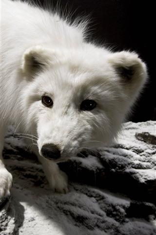 iPhone Fondos de pantalla Lindo pequeño zorro polar