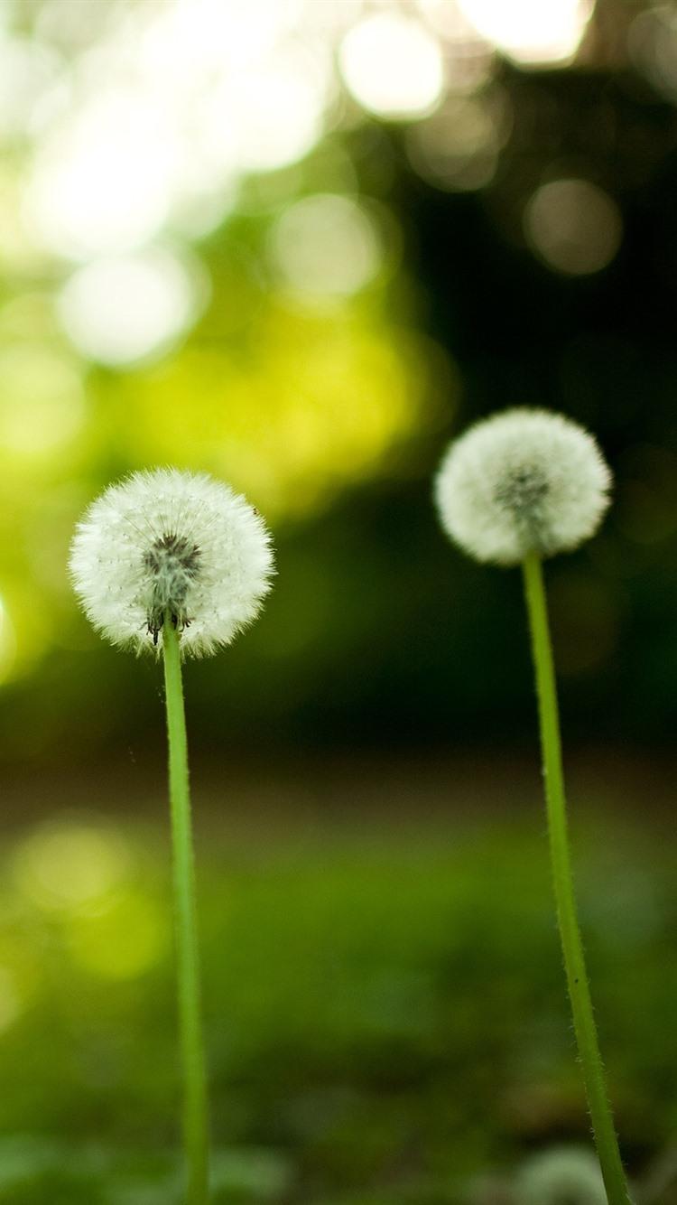 Dandelion Green Background 750x1334 Iphone 8 7 6 6s
