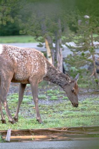 iPhone Fondos de pantalla Ciervos, fauna silvestre, árboles