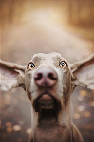 iPhone Fondos de pantalla Perro, cara, orejas grandes, ojos, nariz