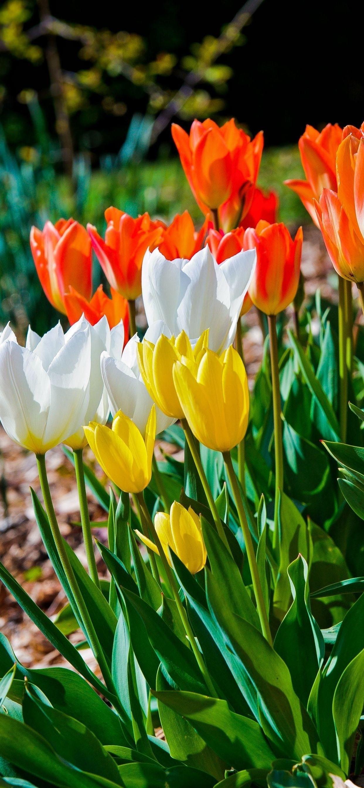 Flowers Field White Orange Yellow Tulips 1242x2688 Iphone