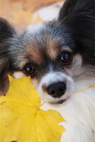 iPhone Wallpaper Furry dog, yellow maple leaf