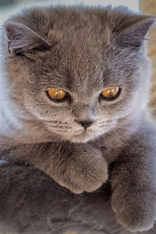 iPhone Fondos de pantalla Gatito gris peludo, ojos amarillos, mirada.