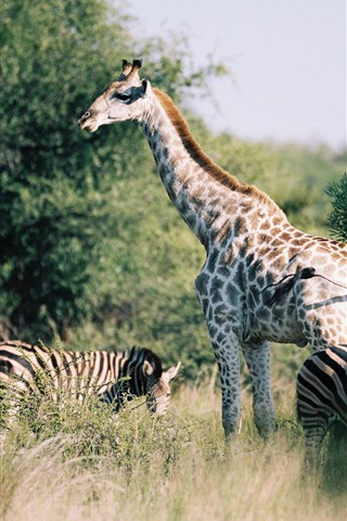 iPhone Wallpaper Giraffe and zebra, bushes, Africa