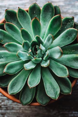 iPhone Fondos de pantalla Planta de casa, Botánico, suculentas