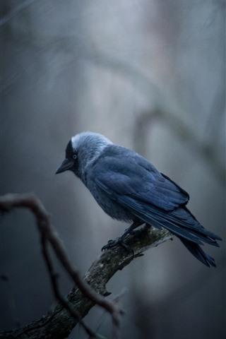 iPhone Fondos de pantalla Grajilla, pájaro, ramitas