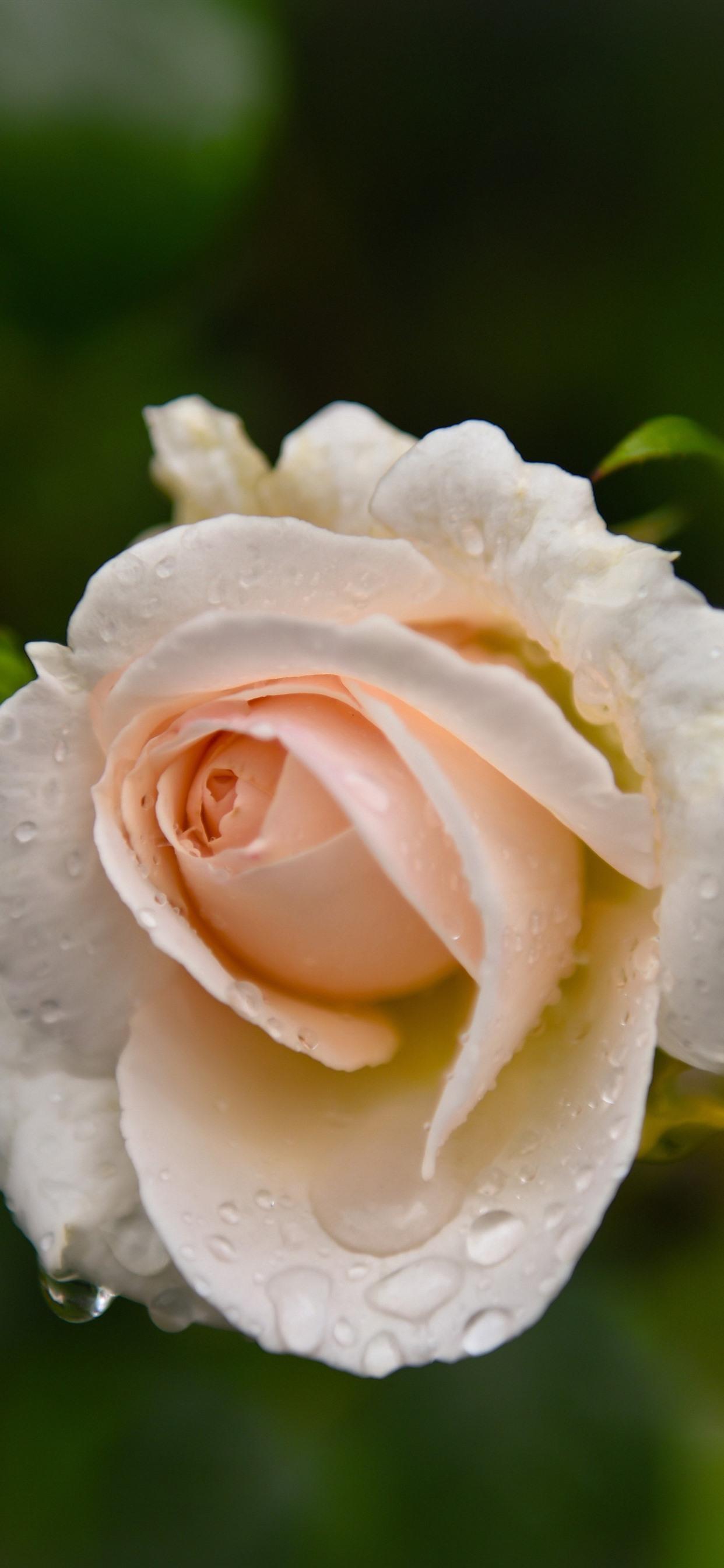 淡いピンクのバラ 水滴 かすんで 1242x2688 Iphone 11 Pro Xs Max