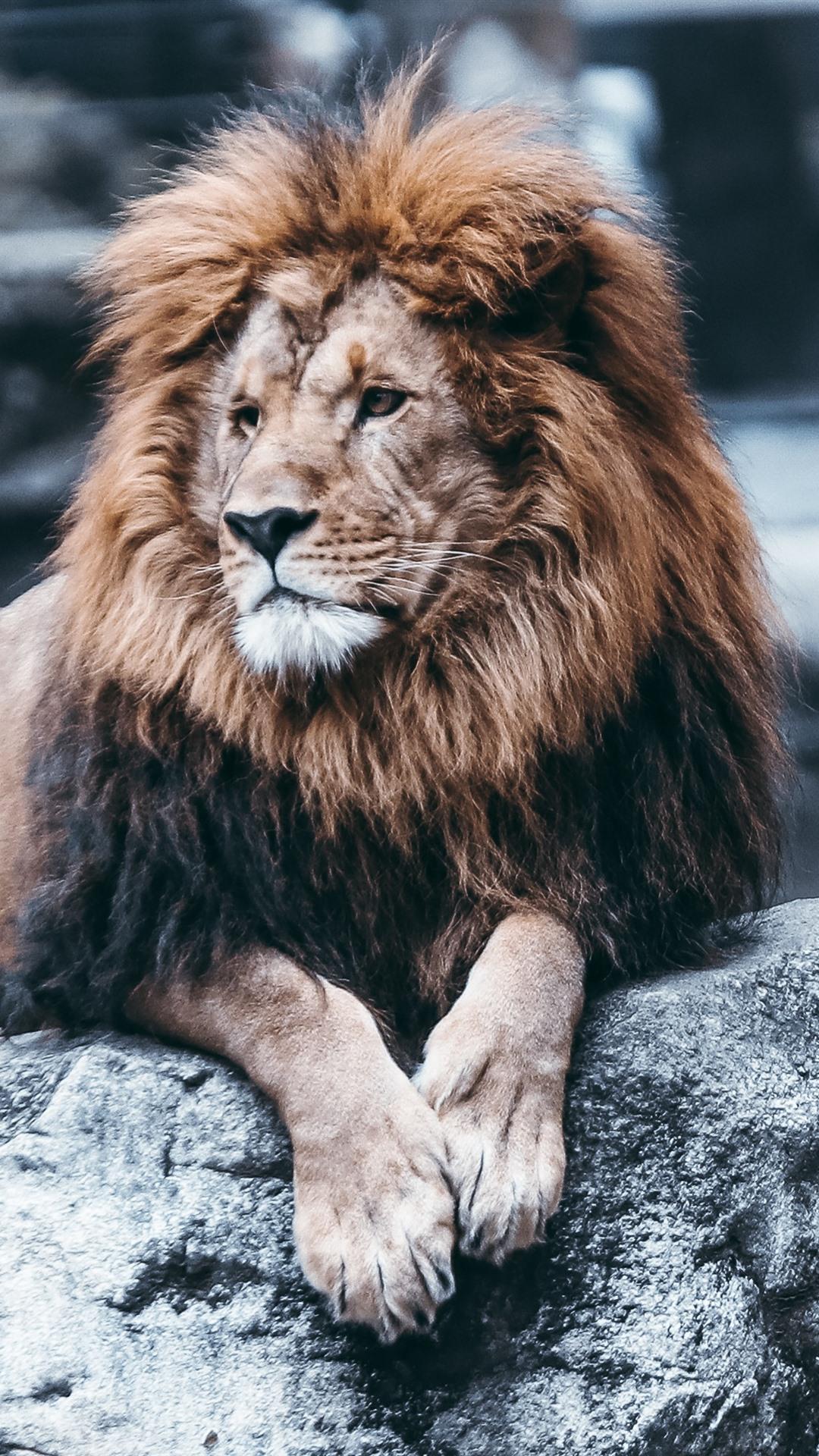 Lion Rest Rocks Zoo 1080x1920 Iphone 8 7 6 6s Plus