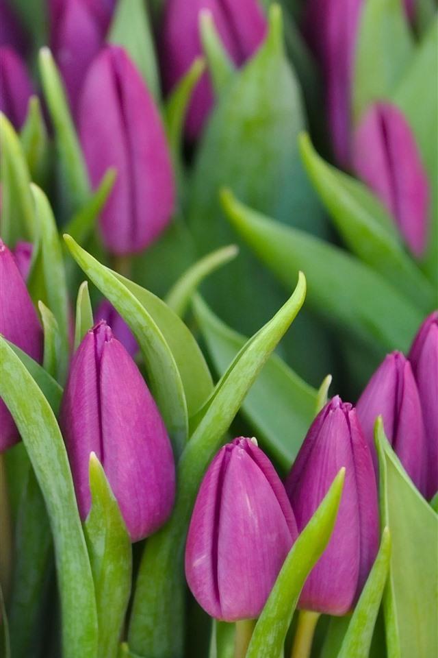 тюльпаны фото на айфон что
