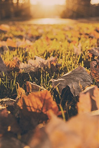 iPhone Fondos de pantalla Hojas de arce, tierra, césped, sol, otoño