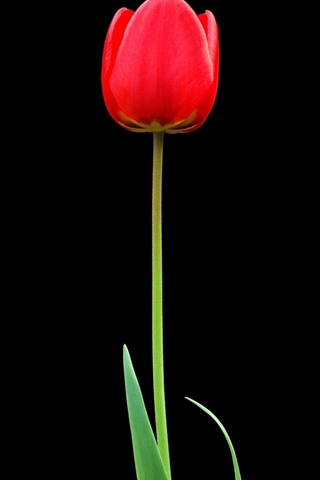 iPhone Wallpaper One red tulip, black background
